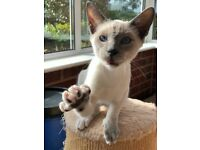 Stunning Blue Eyed Snowshoe Kitten.