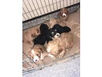Lovely PRA CLEAR cavapoo puppy's for sale