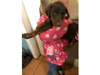 Gorgeous KC registered Doberman puppies