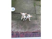 Two girl pedigree chihuahuas for sale