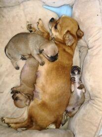 Beautiful smoothcoat chihuahua puppys