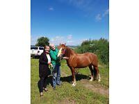 Welsh section c registered 13.2 mare