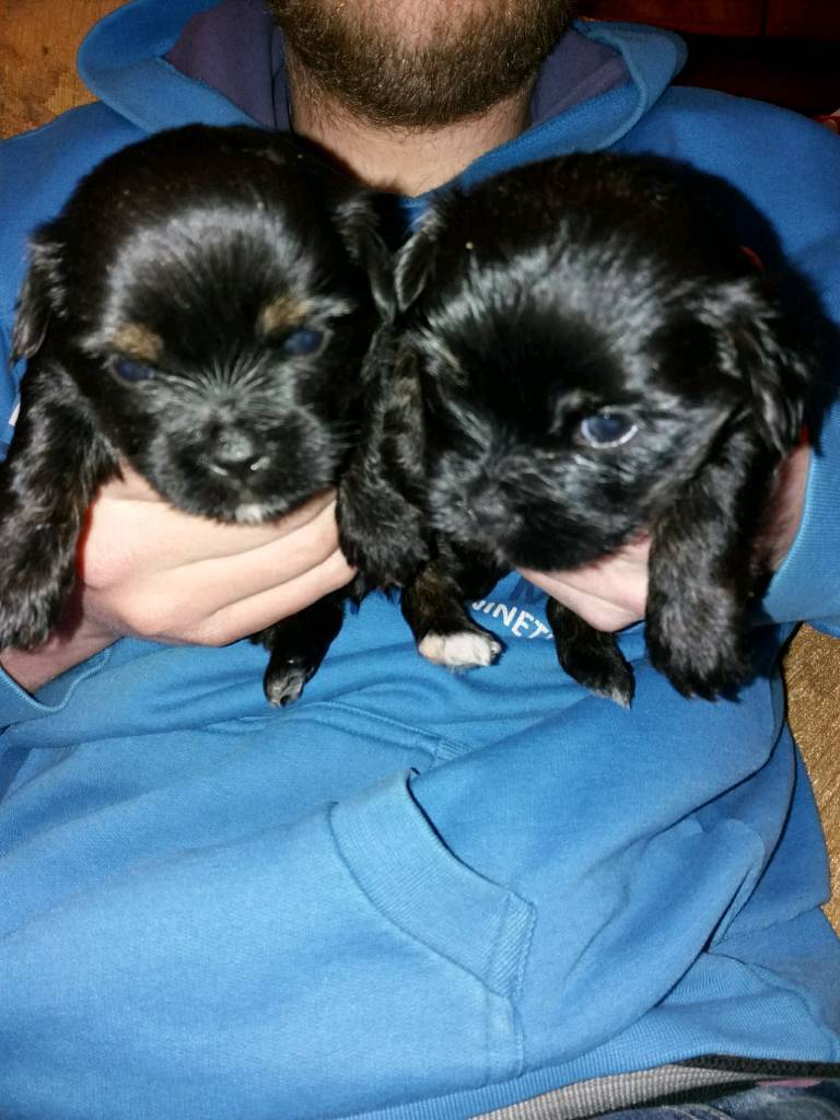 Elgin, Moray £500.00. Puppies for sale