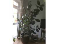 LARGE RUBBER PLANT IN HEAVY LARGE PLANTER + LARGE CHEESEPLANT.