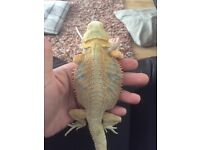 7 months old bearded dragon and full set up for sale
