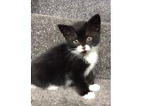8 week old female kittens black/black and white
