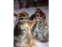 2 yorkies for sale