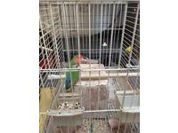 Budgie with cage £20
