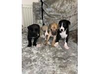 Stunning Whippet Puppies