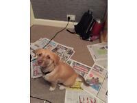 Labrador/Akita puppy - 13 weeks female - Manchester