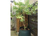 Shrub Fatsia japonica approx 5 ft