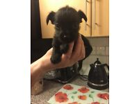 Chorkie puppy for sale