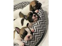 STANDARD SELF WHELPED FRENCHIE PUPS FRENCH BULLDOG PUPPIES PIED