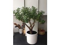 Beautiful 55cm Jade Money Plant shaped into a tree