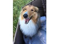 1,5 year old Rough Collie