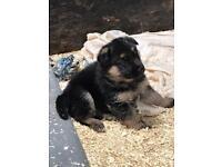 German Shepard pups