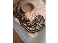 Fire royal python