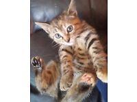 Bengal cross female kitten