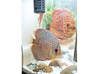 Discus Fish live Tropical Aquarium tank fish Size 5cm to 16cm