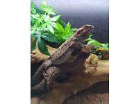 bearded dragon 9 months old plus viv £100 o.n.o