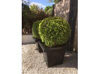 BoxBalls in pots