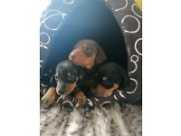 Dachshund puppies (miniature smooth)