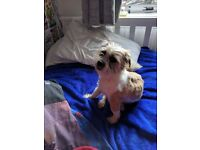 Shih Tzu crossed with a Jack Russell for Sale