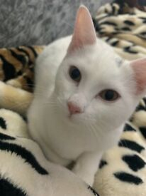 White colour young cat