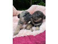 Beautiful blue and lilac french bulldog puppies.