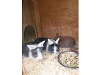 Lionhead cross mini lop bunnies for sale