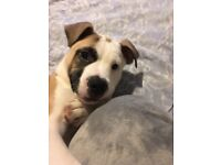 American bulldog puppy. Female.