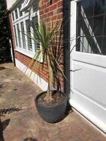 2 x cordyline Australis plants with plant pots similar to palm tree