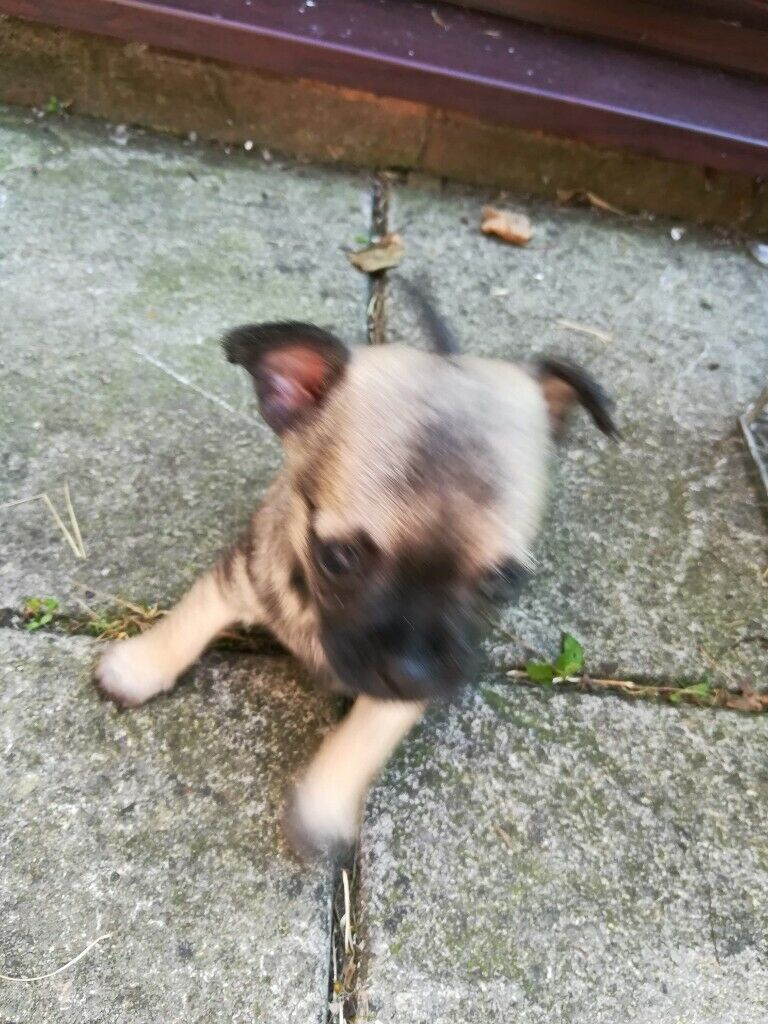 Adorable chihuahua puppy for sale | in Dudley, West Midlands | Gumtree
