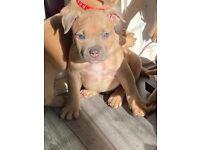 American bully pocket pups ABKC registered