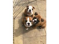 Stunning litter of British Bulldog Puppies *KC Reg* Microchipped*