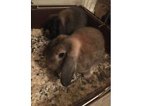 Mini Lop rabbits for sale including hutch, food and accessories