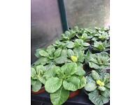 Primula plants 60p each