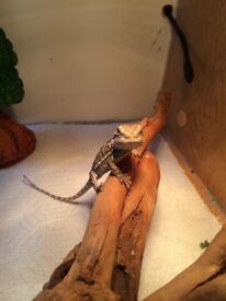 Baby bearded dragon for sale 4/5 months old need gone asap as I can't house 2 together