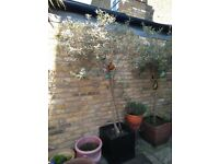 Three mature potted olive trees - 2m in height
