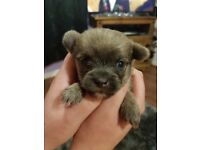 Chorkie puppies for sale, 3/4 chiuahua 1/4 yorkie