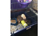 4 dumbo eared rats for sale, cage, toys, food, litter all included £50 ono