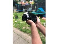 3 male guinea pig baby's