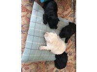 KC registered Scottish terrier puppies