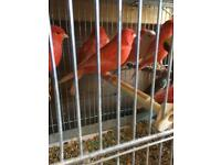 Redfactor Canary for sale