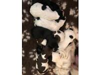 Sproodle Puppies