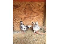 Almond Pigeons For Sale
