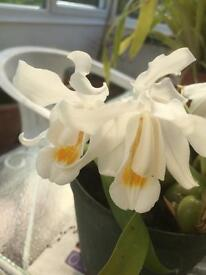 Ceologne cristata orchid or peace orchid