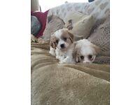 Stunning cavapoo puppies
