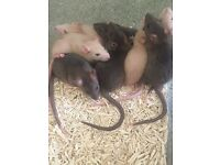Baby pet rats for sale