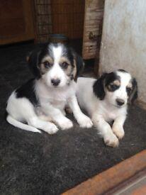 Cocker X Poodle/Yorkie Puppies